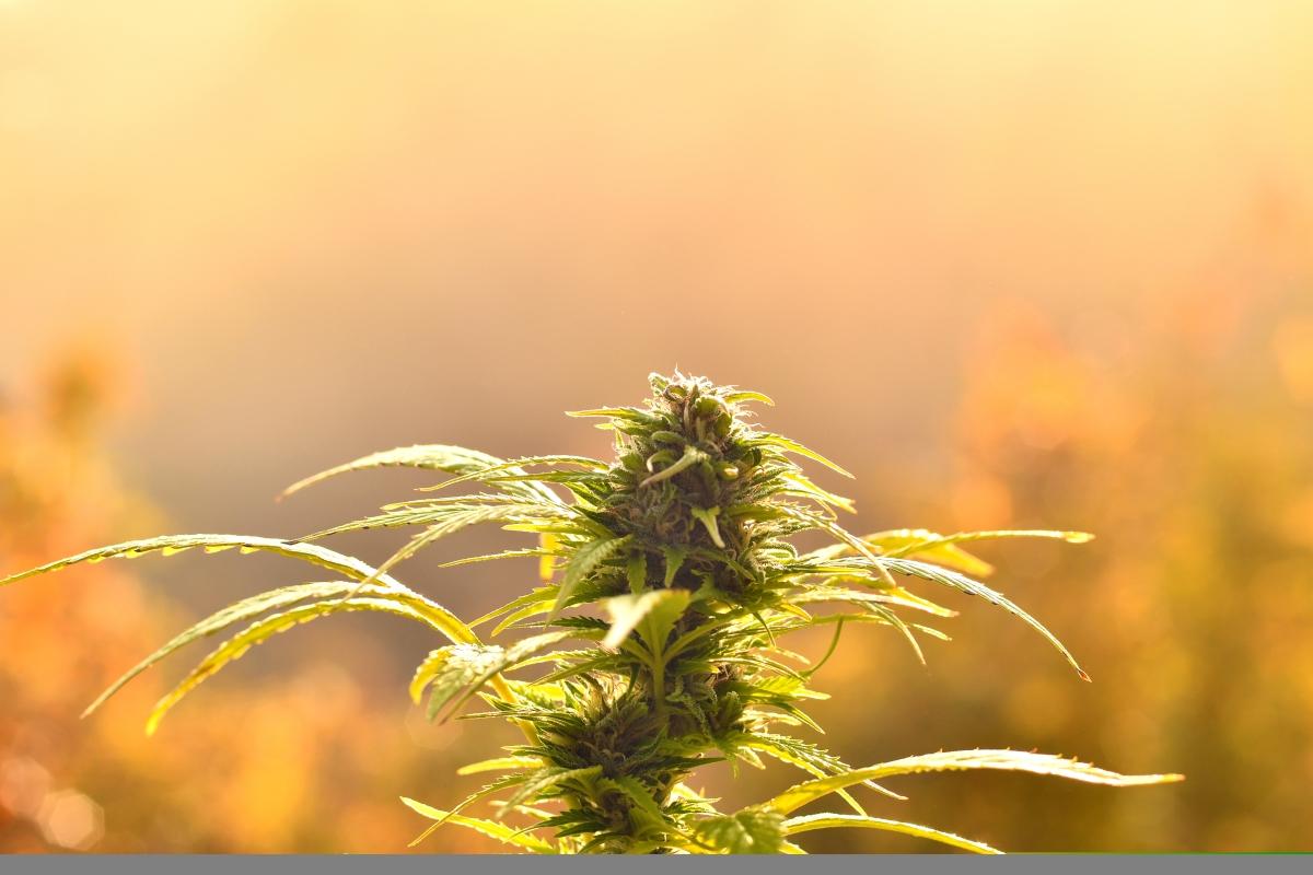 Da sapere sulla cannabis ed i suoi derivati